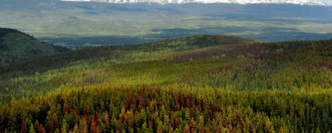 Mountain pine beetle research paper